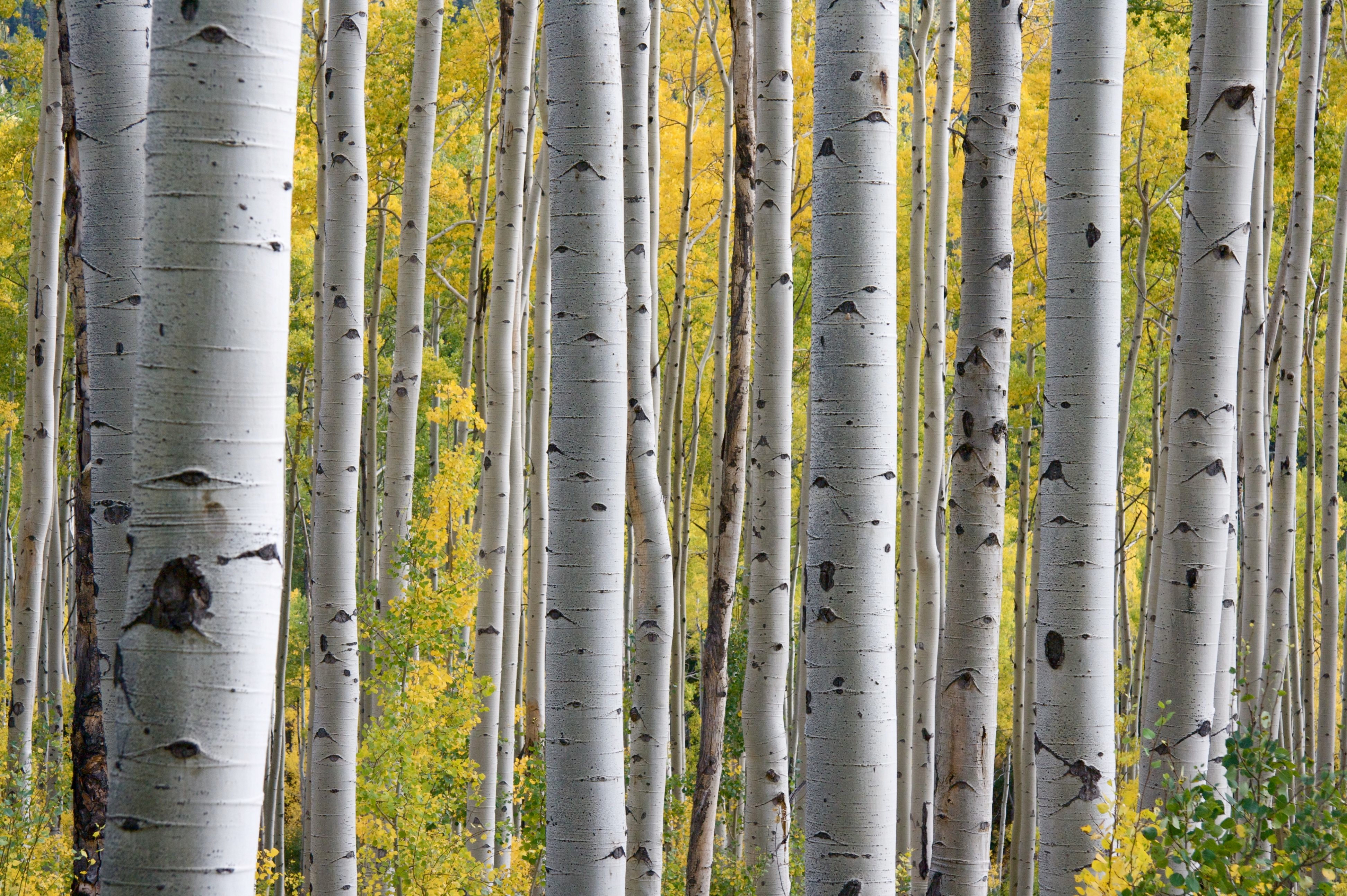 Birch and beech trees
